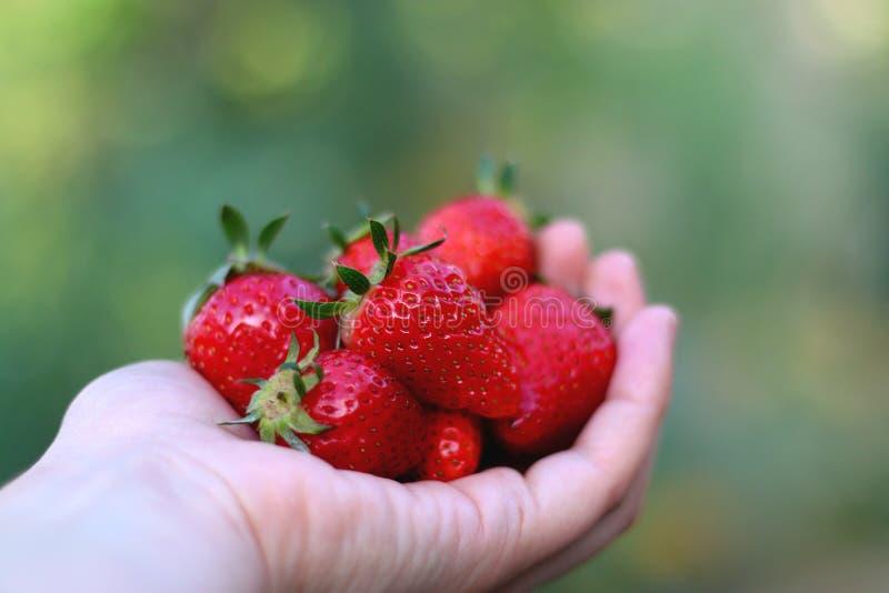 Download De Aardbeien Van De Handholding Stock Foto - Afbeelding bestaande uit organisch, hand: 54091066