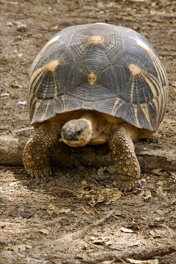de aarde van de schildpad in bemoeiziek Madagascar is stock afbeelding