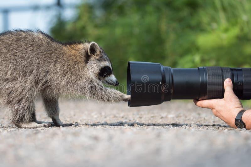 De aardfotograaf ` s ontmoet dicht met Wasbeer royalty-vrije stock foto's