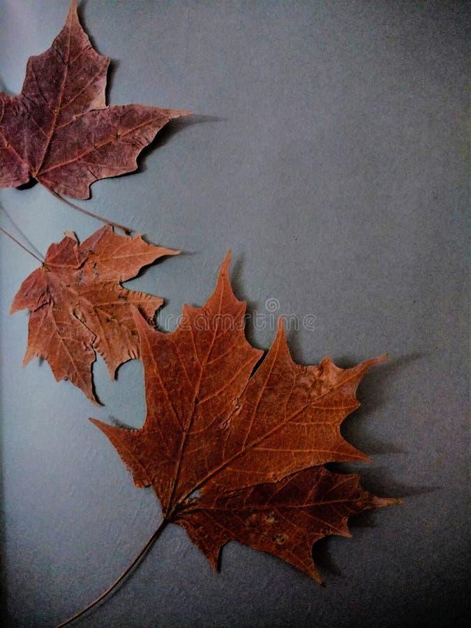 De aardliefde van Mapelbladeren stock foto
