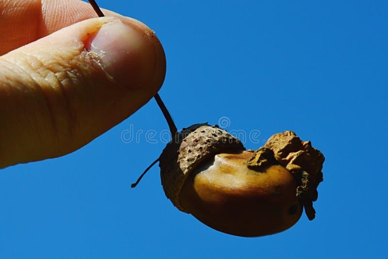 De abnormale structuur op eikel van eiken boomquercus familie riep de Schaafwond van Eikelknopper stock fotografie