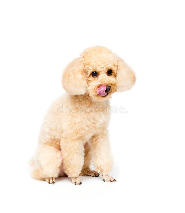 De abrikozenpoedel zit en ziet puppyportret vooruit stock foto's