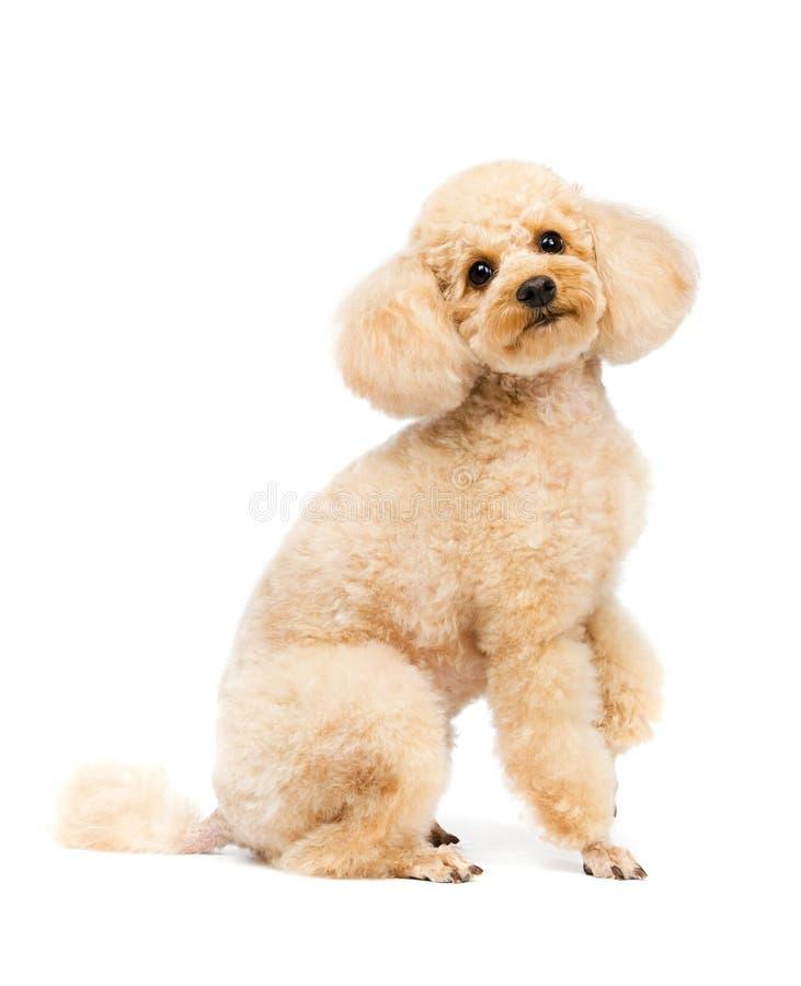 De abrikozenpoedel zit en ziet puppyportret vooruit stock afbeelding