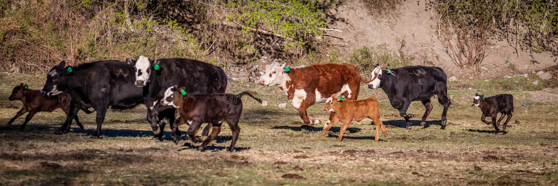 22 DE ABRIL DE 2017, RIDGWAY COLORADO: Angus Hereford cruza, corriendo en rancho centenario, Ridgway, Colorado que un rancho de g fotografía de archivo