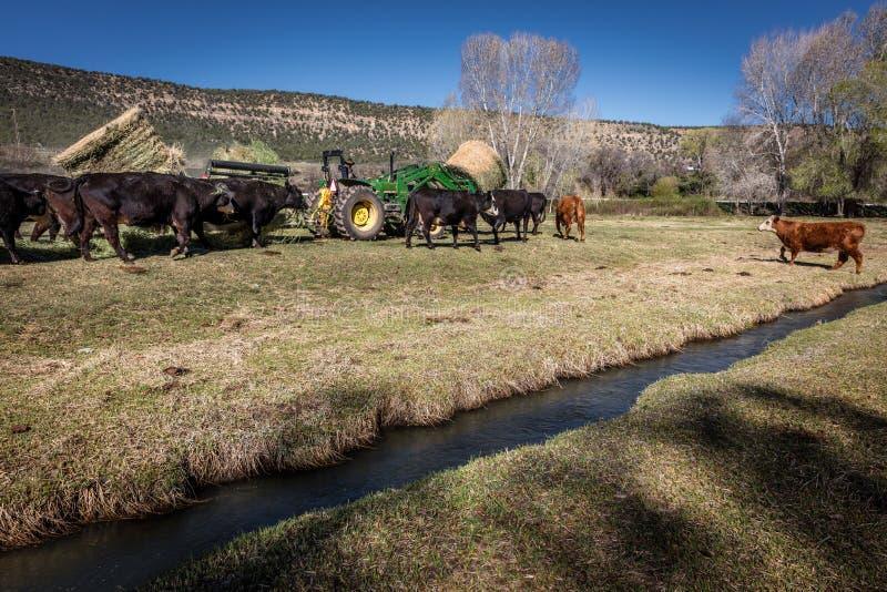 22 DE ABRIL DE 2017, RIDGWAY COLORADO: Rancheiro no rancho centenário, gado das alimentações com trator um rancho de gado possuíd fotografia de stock