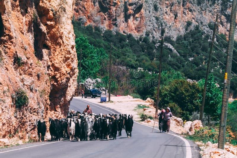 29 de abril de 2017 - Geyikbayiri, Turquía: Manada de las cabras que caminan en el camino con el pastor detrás de ellas imagen de archivo libre de regalías