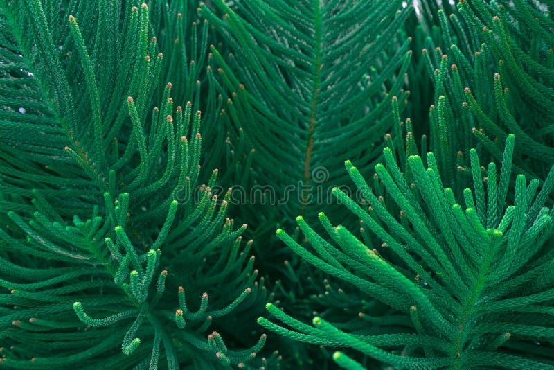 De abstracte aard donkergroene tropische bladeren als achtergrond, het blad van een pijnboomboom royalty-vrije stock foto
