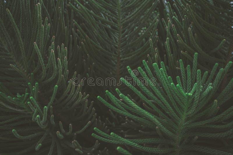 De abstracte aard donkergroene tropische bladeren als achtergrond, het blad van een pijnboomboom stock afbeelding
