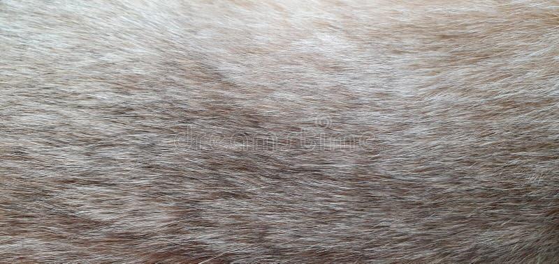 De abstracte achtergrond, dichte omhooggaand van het kattenbont, kat van Brits ras van goud tikte kleur, beschikbare ruimte voor  royalty-vrije stock afbeelding