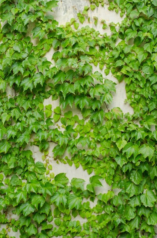 De abstracte achtergrond van de installatiemuur, de Groene klimplantinstallatie op muur van het grunge de oude huis royalty-vrije stock foto