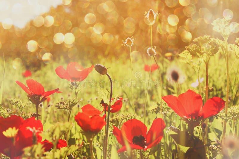 De abstracte en dromerige foto met lage hoek van rode papavers tegen hemel met licht barstte gefiltreerd en gestemde wijnoogst stock afbeeldingen