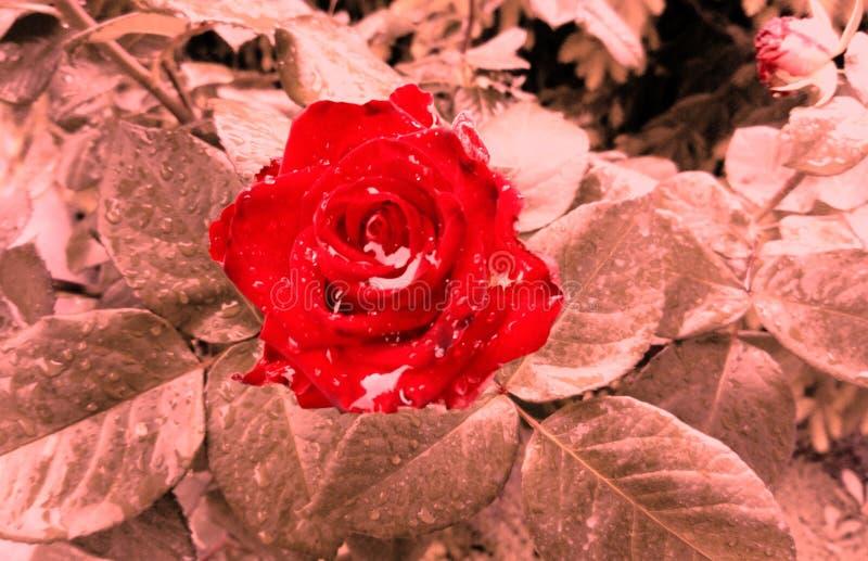 De abstracte foto van rood nam toe stock foto's
