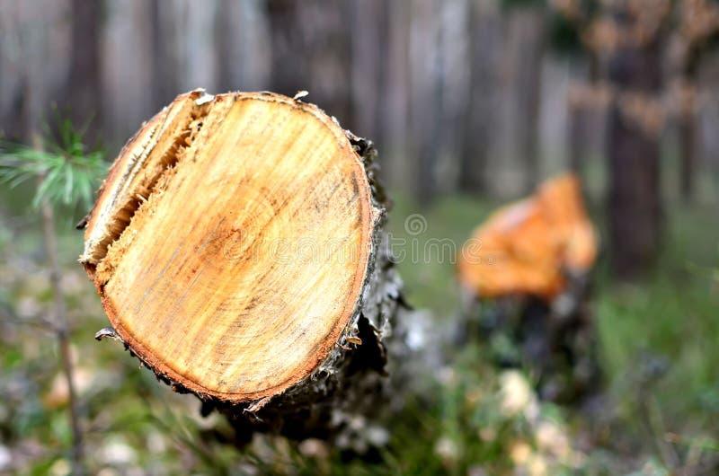 De abstracte textuur als achtergrond van de gezaagde boom ter plaatse in het bos, sluit omhoog Onwettig registrerenbos stock foto's