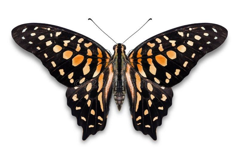 De abstracte vlinder van ornagekleur van De steel verwijderde Jay Graphium agamemnon royalty-vrije stock fotografie