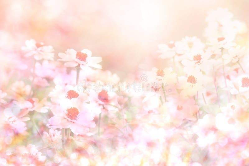 De abstracte zachte zoete roze bloemachtergrond van madeliefje bloeit stock afbeeldingen