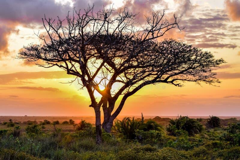 De acacia van de parapludoorn met zonsondergang stock afbeeldingen