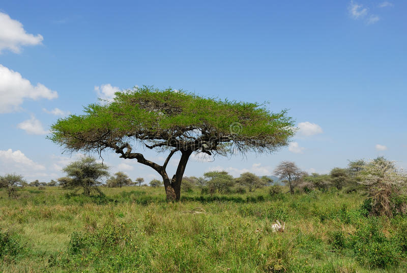 De acaciaboom van de paraplu in de savanne stock fotografie