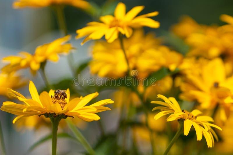 De achtergrond van de aard De gele goudsbloem bloeit gebied met bij stock foto
