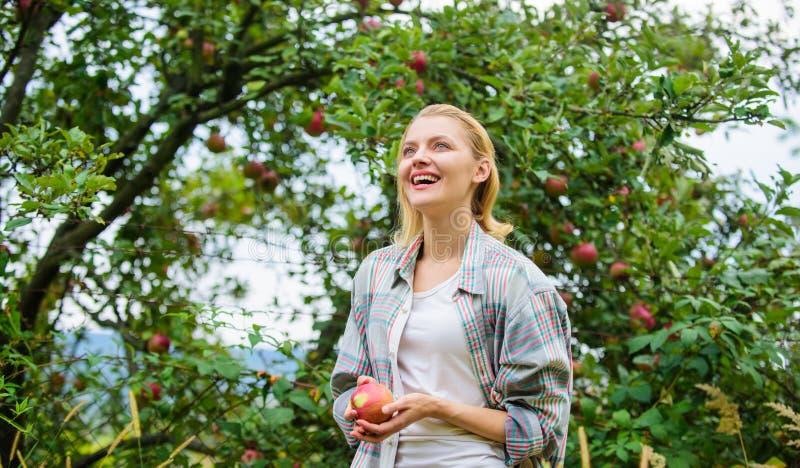 De achtergrond van de de appeltuin van de vrouwengreep Het organische natuurlijke product van de landbouwbedrijfopbrengst Verzame stock fotografie