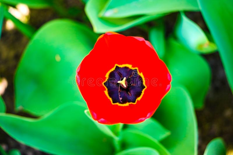 De achtergrond van bloemtulpen Mooie mening van rode tulpen onder zonlichtlandschap bij het midden van de lente of de zomer royalty-vrije stock afbeelding