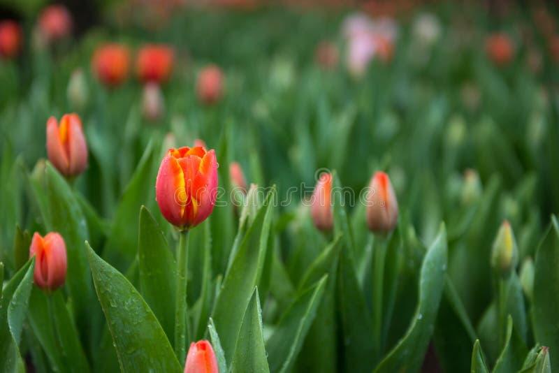 De achtergrond van bloemtulpen Mooie mening van kleurentulpen stock fotografie