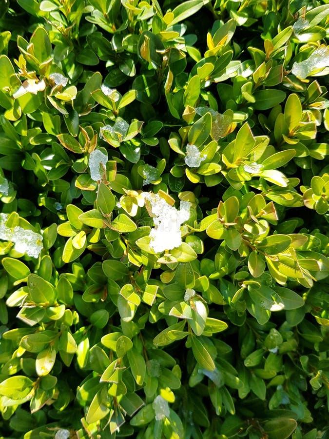 De achtergrond van bukshoutbladeren met ijs Verse groene bukshoutbladeren in de winter royalty-vrije stock fotografie