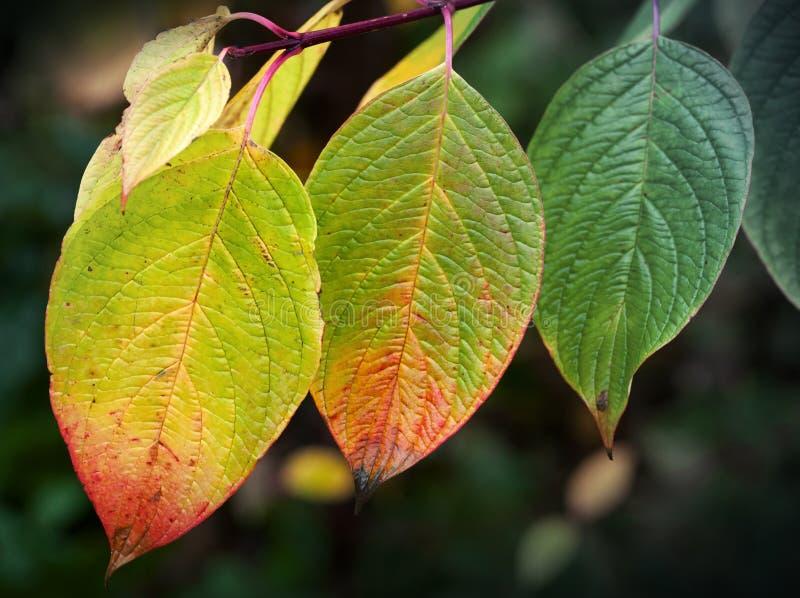 De Achtergrond van de Aard van de herfst Gemakkelijk om VectorBeeld uit te geven Heldere kleurrijke bladeren, macrofotowi stock afbeelding