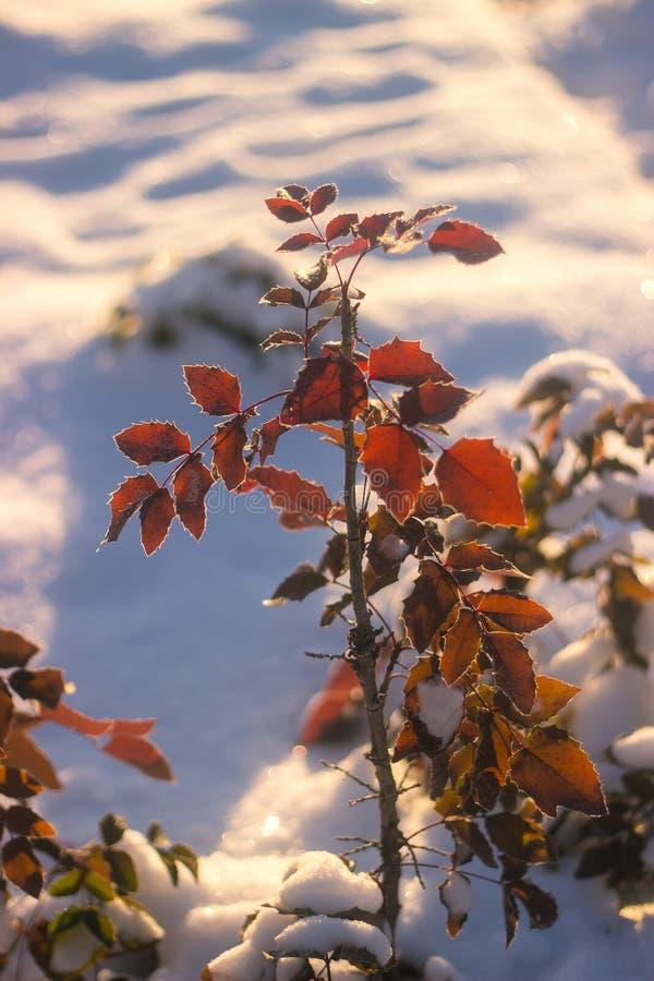 De Achtergrond van de Aard van de winter De achtergrond van de Kerstmisvakantie, Bevroren boomtak stock fotografie
