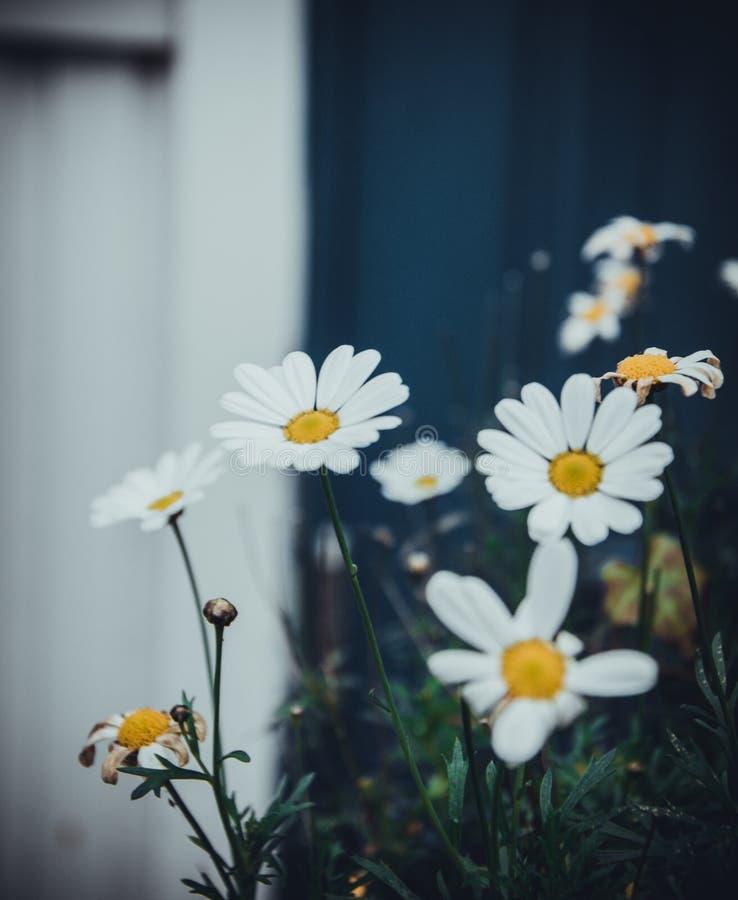 De achtergrond van de aardbloem Verbazende natuurlijke mening van gele tulpen onder zonlicht in tuin Perspectief mooi landschap royalty-vrije stock fotografie