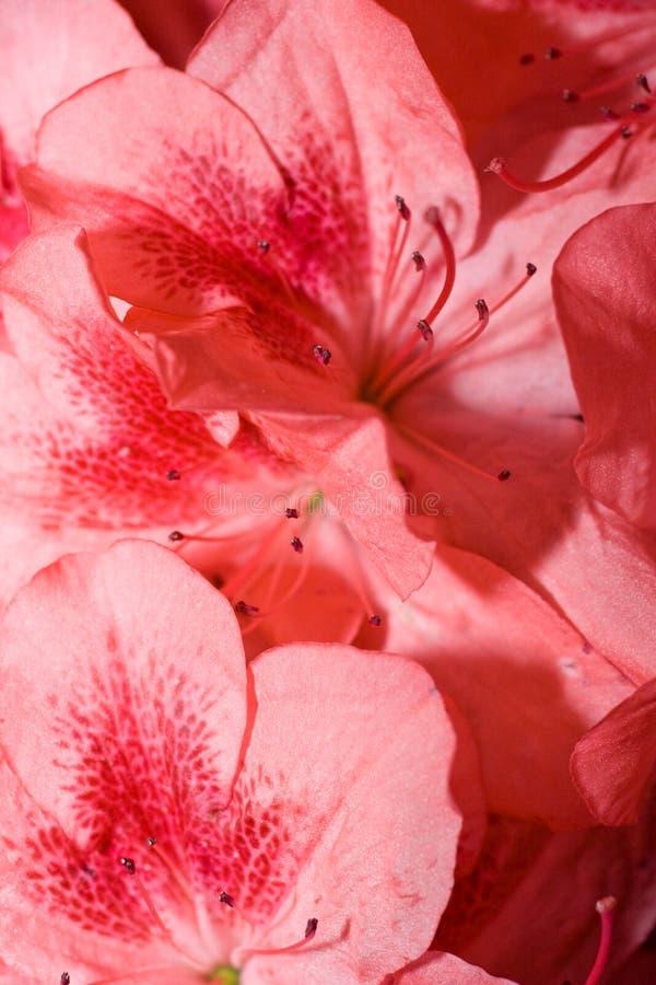 De achtergrond van de azalea royalty-vrije stock afbeeldingen
