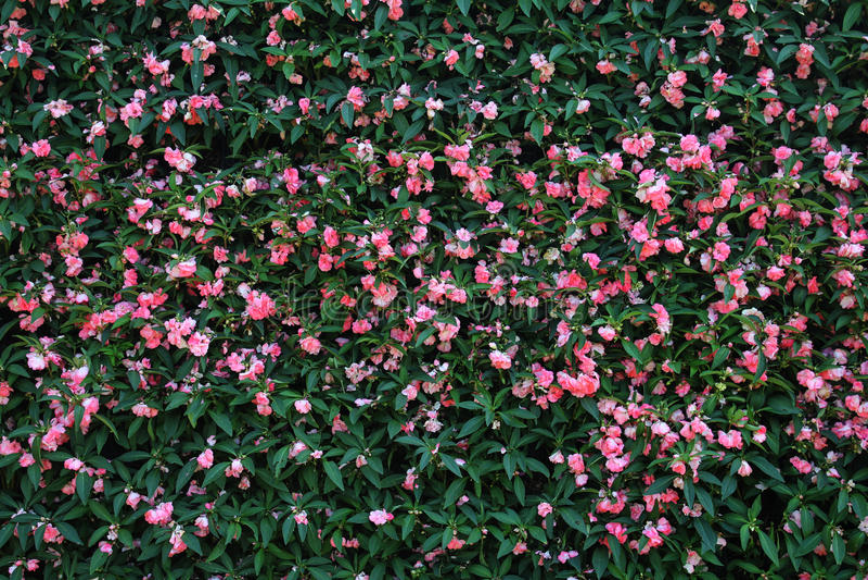 De achtergrond van de bloemmuur ฺ royalty-vrije stock afbeelding