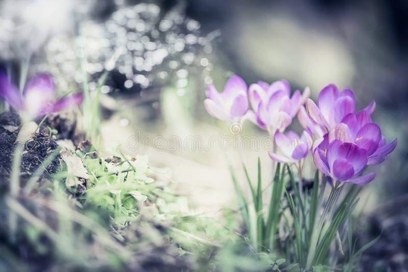 De achtergrond van de de lenteaard met mooie krokussenbloemen in tuin of park stock afbeeldingen