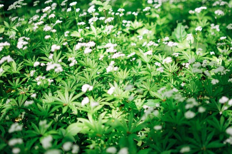 De achtergrond van de de lentebloem, sneeuwklokjes royalty-vrije stock foto's