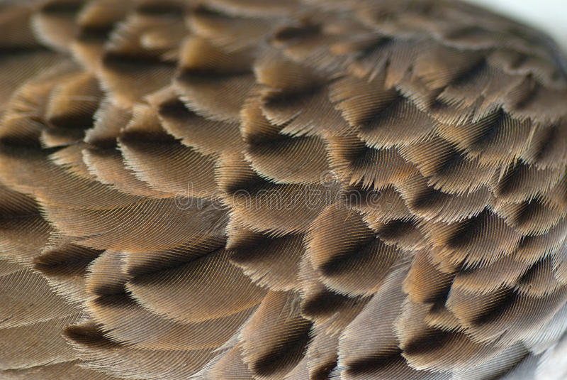 De achtergrond van de de veertextuur van de vogelvleugel stock afbeelding