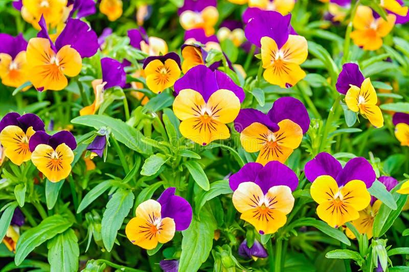 De achtergrond van de de zomerbloem - gebied van de oranje en lilac zomer pansies royalty-vrije stock afbeelding