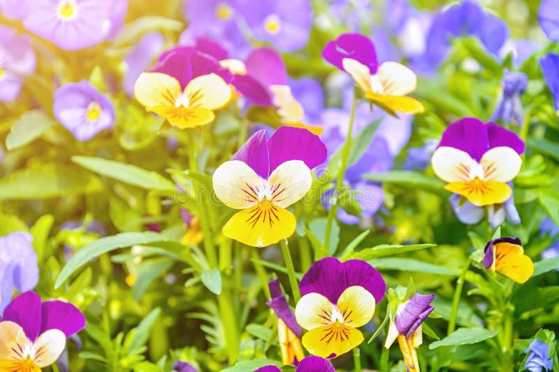 De achtergrond van de de zomerbloem - gebied van de roze, gele en blauwe zomer die pansies zich tot het zachte zonlicht uitbreide royalty-vrije stock afbeelding