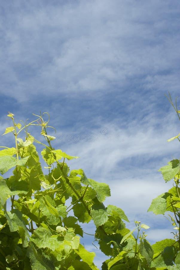 De achtergrond van de wijngaard royalty-vrije stock fotografie