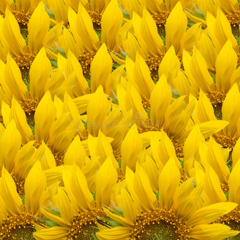 De achtergrond van de zonnebloem royalty-vrije stock afbeelding