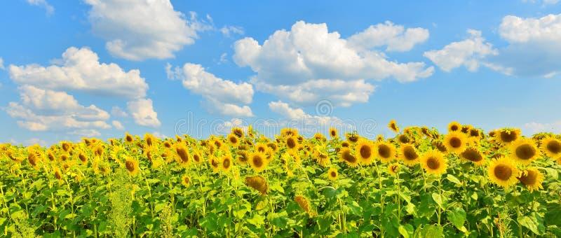 De achtergrond van de zonnebloem stock fotografie