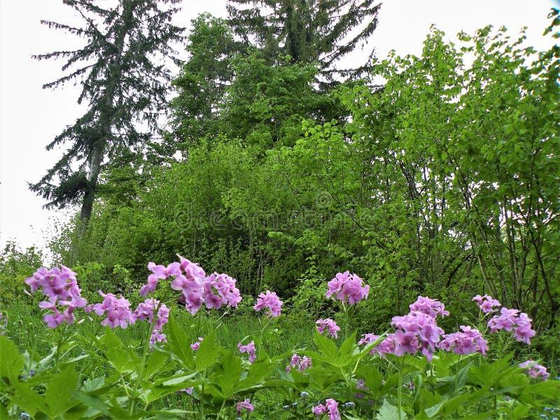 De achtergrond van een groene weide met mooie violette bloemen, bomen groeit, onbeschadigde aard stock foto's
