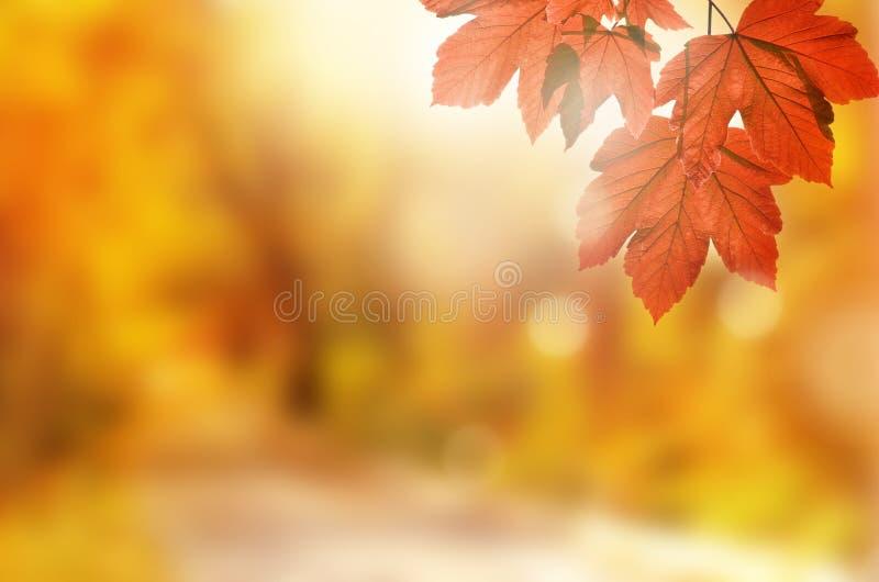 De achtergrond van de herfst Rode en oranje het bladclose-up van de kleurenKlimop Geel blad in de herfstpark op een vage achtergr stock fotografie