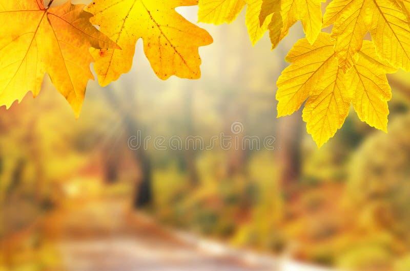 De achtergrond van de herfst Rode en oranje het bladclose-up van de kleurenKlimop Geel blad in de herfstpark op een vage achtergr stock foto's