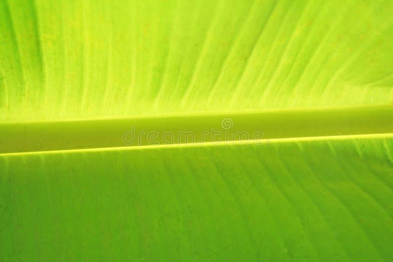De achtergrond van het banaanverlof royalty-vrije stock fotografie