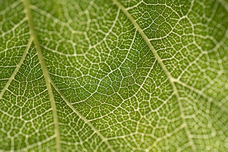 De achtergrond van het bladerenskelet Sluit omhoog groene bladtextuur stock afbeeldingen