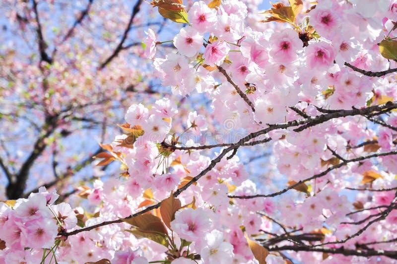 De achtergrond van het de bloesemonduidelijke beeld van de de lentekers royalty-vrije stock foto's