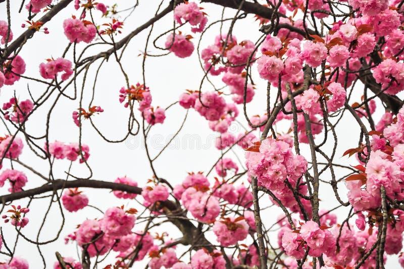 De achtergrond van het de bloesemonduidelijke beeld van de de lentekers royalty-vrije stock fotografie