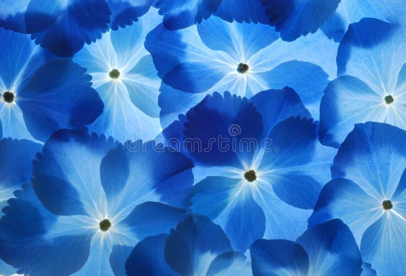 De achtergrond van Hortensia royalty-vrije stock afbeeldingen