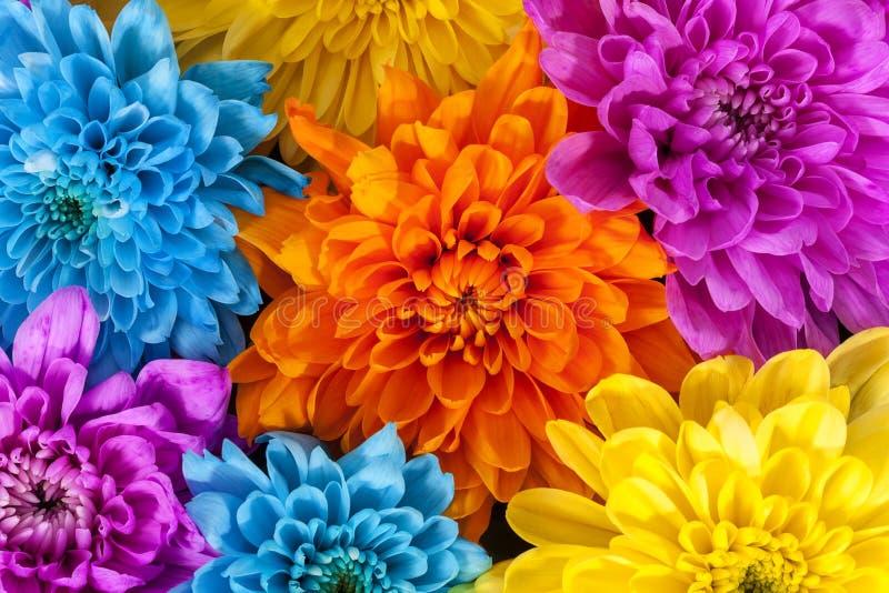 De achtergrond van kleurrijke chrysant bloeit, blauw, geel roze, sinaasappel stock foto's