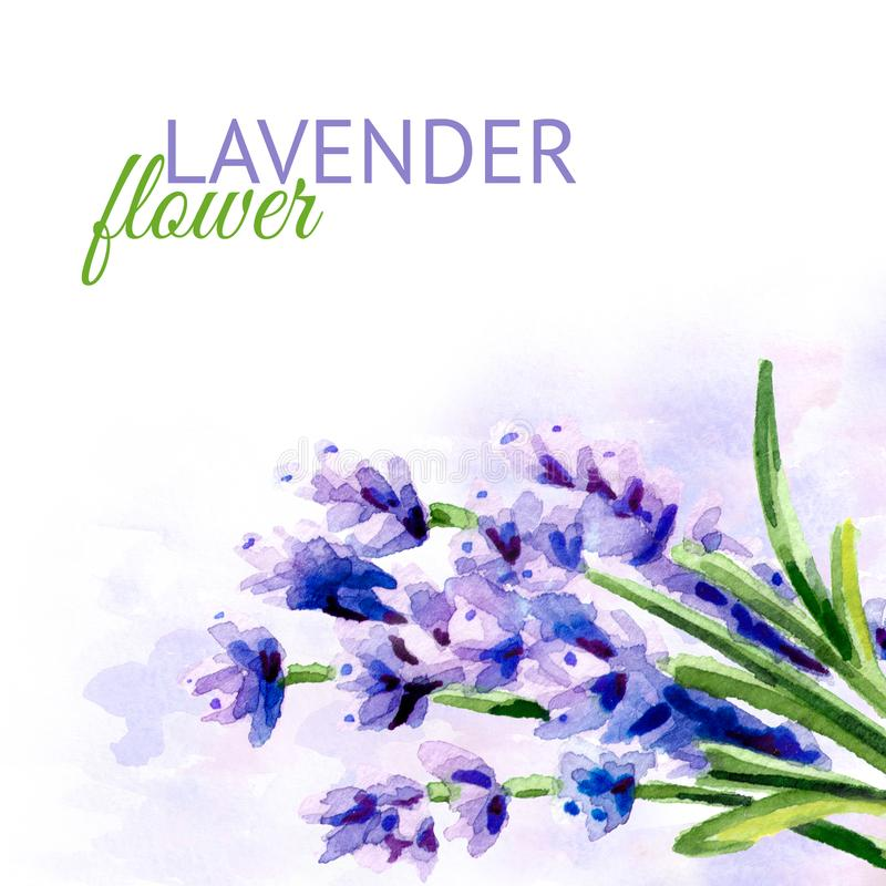 De achtergrond van de lavendelbloem Waterverfhand getrokken die illustratie, op witte achtergrond wordt geïsoleerd royalty-vrije illustratie