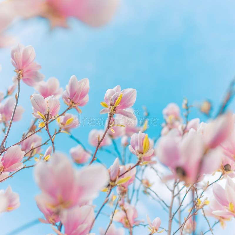 De achtergrond van de lente De magnoliabloemen en de vage achtergrond, springen zachte kleuren en de zomerstemming op royalty-vrije stock foto
